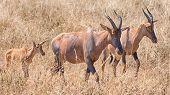 Topi, Serengeti National Park, Tanzania, Africa