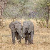 Baby Elephants, Tarangire National Park, Tanzania, Africa