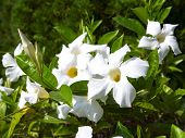 White Allamanda Flowers With Buds.