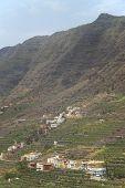 Banana Tree Plantation In The Mountainside. Gomera. Canary Islands.