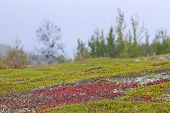 stock photo of bearberry  - Red bearberry surrounded by green leaves of crowberry - JPG