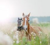 picture of running horse  - horses in field running at early morning