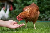 foto of chicken  - Hand outstretched to the brown chicken to feed it - JPG
