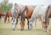 stock photo of herd horses  - horse grazing in a field in herd - JPG