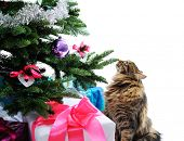 cat and gifts under Christmas tree isolated on white