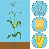 pic of maize  - maize as a plant with details of seeds and flowering - JPG