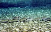 pic of mullet  - A school of Grey Mullet swim in a single line in the shallow clear freshwaters of Fanning Springs state park in Florida - JPG