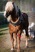 pic of harness  - Draft horse in harness on the farm - JPG
