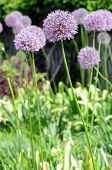 Allium Onion Flowers
