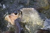 picture of fresh water fish  - fish bite bread in fresh water pool - JPG
