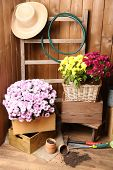 Chrysanthemum bush in wooden boxes, tools for gardening on wooden wall background