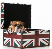 english bulldog in a british flag crate on white background