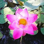 Pink Lotus Flower.