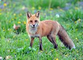 Mother Fox In The Wild