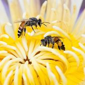 picture of swarm  - Bee swarm water lily lotus in nature - JPG