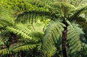 The New Zealand Native Bush. Fern Tree