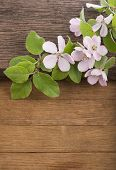Flowering of apple tree on  wooden background.