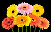 Collection Of Colorful Gerbera Marigold Flowers Isolated