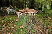 Forest With Stump And Mushrooms Autumn View