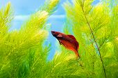 image of cockerels  - Photo of cockerel fish in blue water - JPG