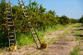 foto of orange-tree  - Wooden ladders leaned on orange trees and yellow plastic pails on the ground during the harvest season - JPG