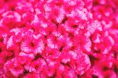image of cockscomb  - Close up Cockscomb or Chinese Wool Flower - JPG