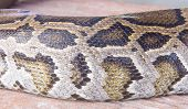 stock photo of python  - Python skin is used to make background - JPG