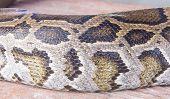 image of pythons  - Python skin is used to make background - JPG