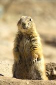 stock photo of prairie  - Prairie dog standing up from underground hole. ** Note: Soft Focus at 100%, best at smaller sizes - JPG