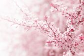 pic of planting trees  - Vintage photo of pink cherry tree flower in spring