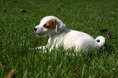 pic of puppy beagle  - Beagle puppy lying on the grass bored  - JPG