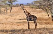 foto of mimicry  - Lone giraffe walking on the African savannah - JPG