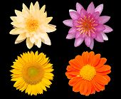 picture of zinnias  - Group of flowers isolated over black background sunflower zinnia and water lily - JPG