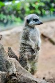 picture of carnivores  - Small Brown Carnivore African Mammal Animal Suricata - JPG