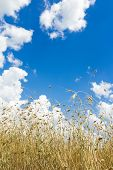 picture of cumulus-clouds  - White cumulus clouds on rich aero blue color sky high up over ripening oat grain ears farm field - JPG