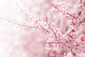 picture of garden-art  - Vintage photo of pink cherry tree flower in spring  - JPG