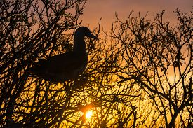 picture of boobies  - Beautiful sunset with the silhouette of a Red Footed Booby on Genovesa Island in the Galapagos Islands  - JPG