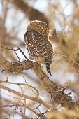 Pearlspotted Owl