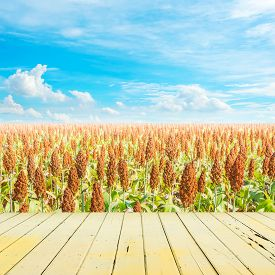 pic of sorghum  - image of sorghum field and clear blue sky for background usage - JPG