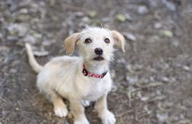 picture of puppy eyes  - Cute dog is an adorable puppy looking up with big puppy dog eyes - JPG