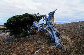 stock photo of juniper-tree  - Gnarled Juniper Tree Shaped By The Wind at El Sabinar - JPG