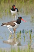 American Oystercatcher In Blue Water