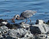 Great Blue Heron (ardea Herodias) With Catch
