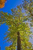 Large Autumn Oak
