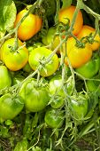 Tomato Bush With Breed Called Lemon Tree