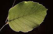 Single Green Leaf