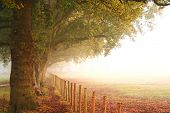 Beautiful big trees in autumn colours by the side of a fence next to an open field on a misty mornin