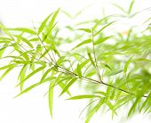 Miniature bamboo leaves on thin branches