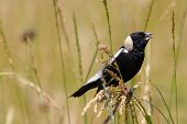 Bobolink (Dolichonyx Oryzivorus) Perched In Tall Grass