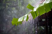 Torrential rain in the tropical rainforest damaging a banana leaf.